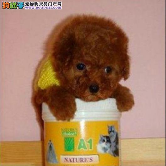 高品质纯种茶杯贵宾泰迪幼犬 健康纯种协议质保