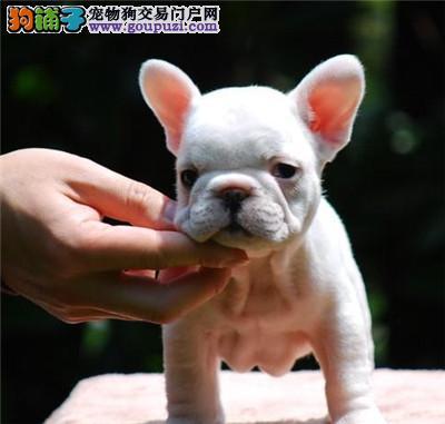 重庆专业繁殖出售纯种法国斗牛幼犬 健康纯种协议质保