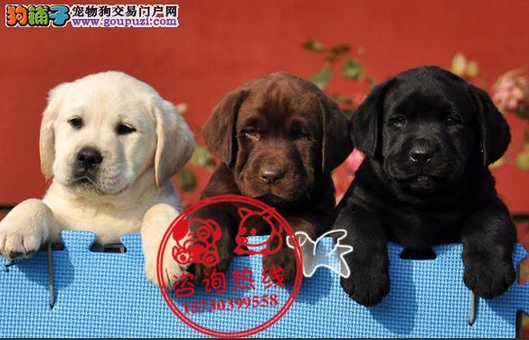 重庆犬舍直销、纯种拉布拉多犬、签协议包纯种健康