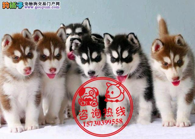 重庆犬舍直销、纯种哈士奇犬雪橇犬、签协议包养活