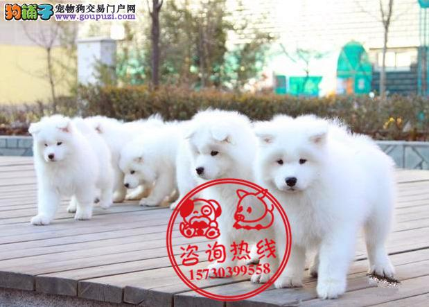 重庆犬舍直销、纯种萨摩耶犬、签协议包纯种包健康