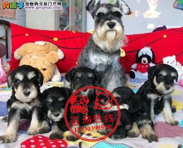 重庆犬舍直销、纯种雪纳瑞犬、签协议包养活包纯种