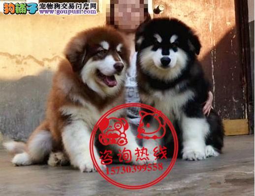 重庆犬舍直销、纯种阿拉斯加犬、签协议包健康纯种
