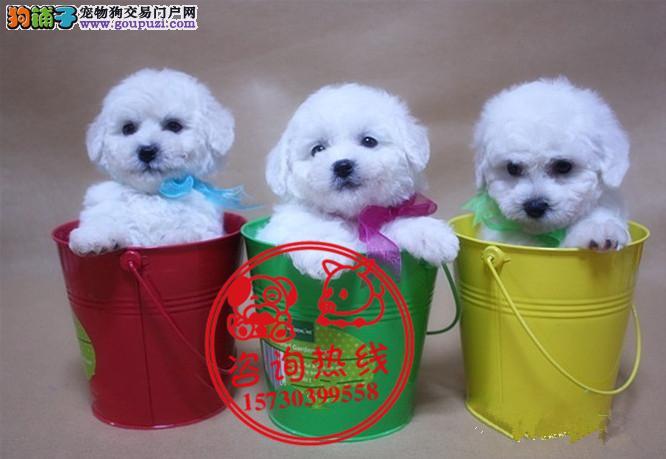 重庆犬舍直销、纯种比熊犬、签协议包养活包健康纯种