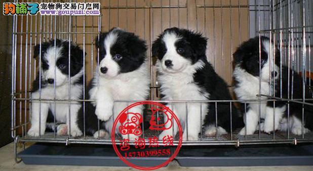 重庆犬舍直销、纯种边境牧羊犬、签协议包纯种健康