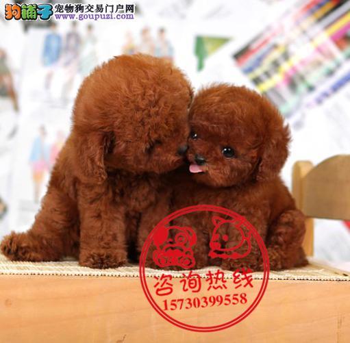 重庆犬舍直销、纯种贵宾犬、签协议包养活包健康纯种
