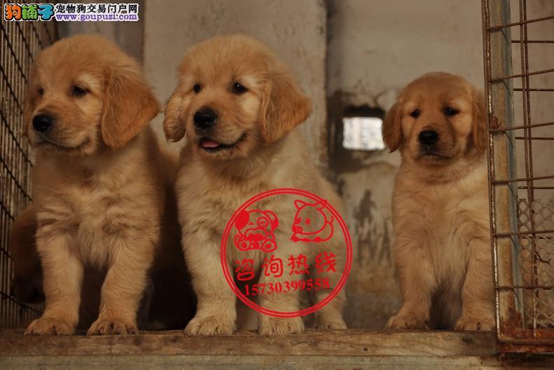 重庆犬舍直销、纯种金毛犬、签协议包养活进口血统