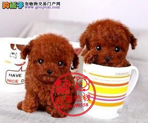 重庆犬舍直销、纯种泰迪犬、茶杯型签协议包养活