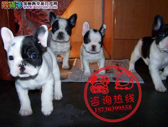 重庆犬舍直销、纯种法国斗牛犬、签协议包纯种健康