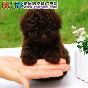 专业犬舍繁殖纯种巧克力泰迪贵宾幼犬 质量 品质 血统