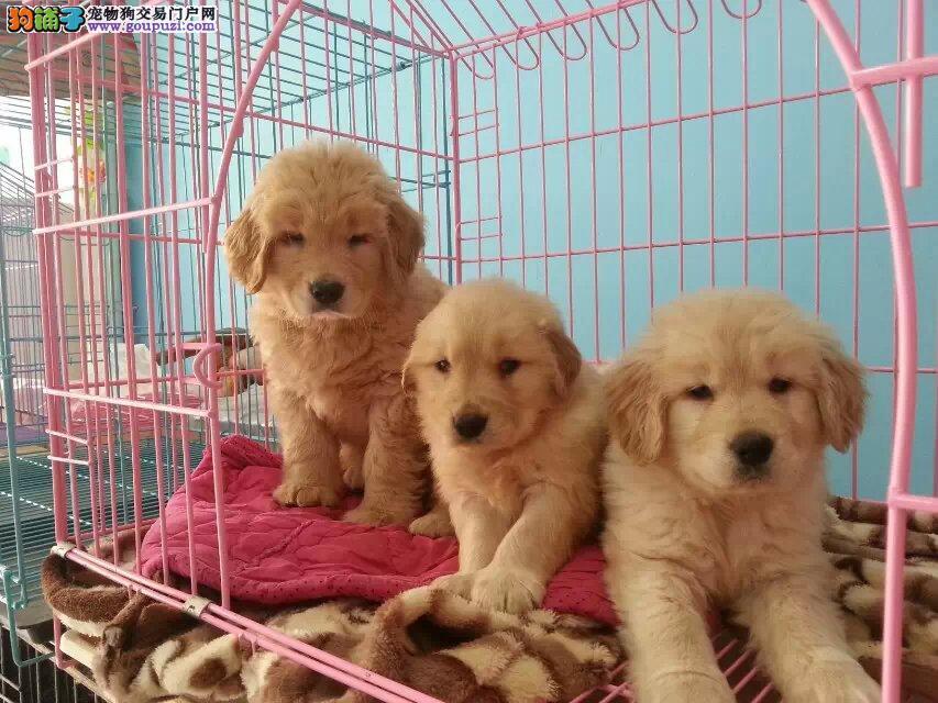 成都哪里有金毛出售 犬舍繁殖 值得信赖 包健康纯种