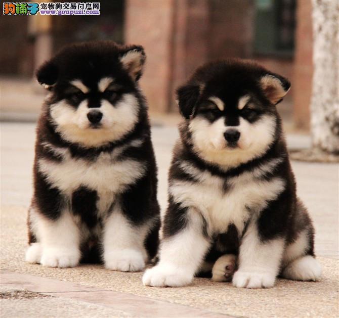 成都黑色红色巨型阿拉斯加幼犬出售 十字脸阿拉出售