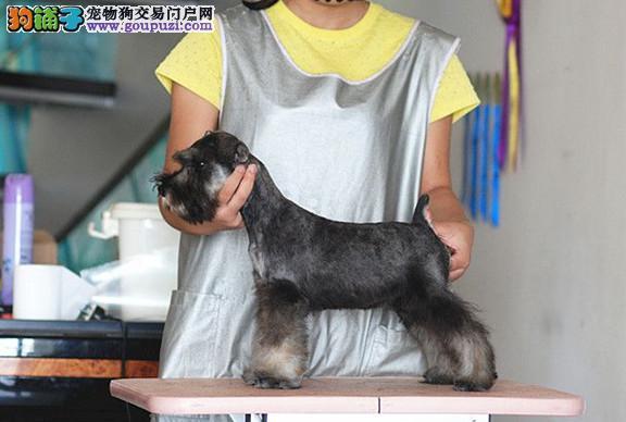 成都专业犬舍繁殖纯种雪纳瑞幼犬 质量 品质 血统