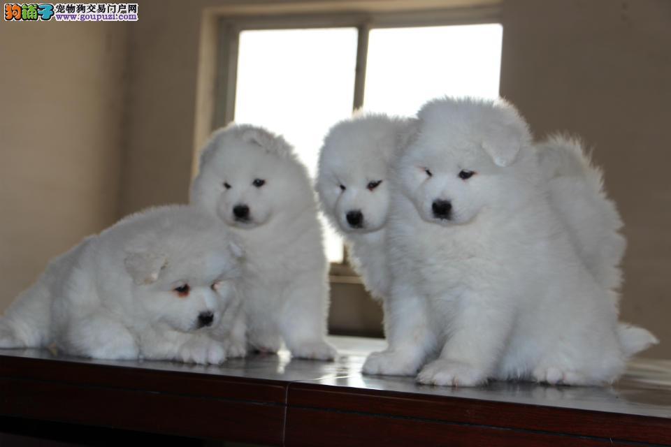 重庆纯种萨摩耶犬 专业繁育 健康品质保障 可签协议