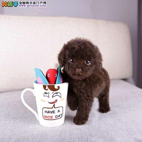 贵宾泰迪茶杯体型犬 专业繁育 健康品质保障 可签协议