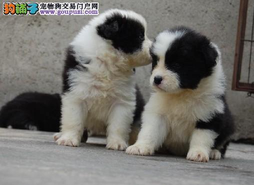纯种边境牧羊犬出售 犬舍直销 包健康 签协议
