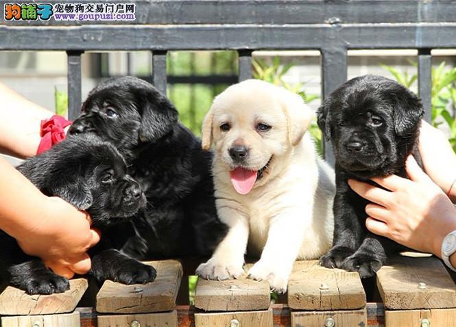 正规犬舍繁殖纯种拉布拉多导盲犬保纯种健康可送货刷卡