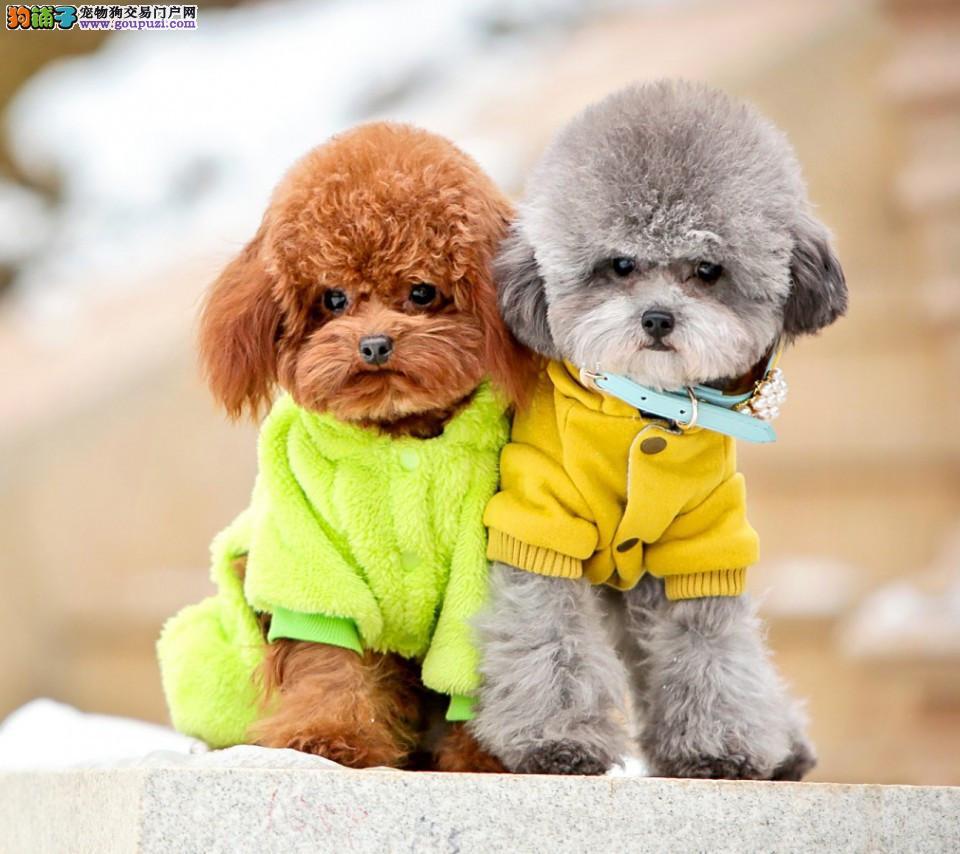 成都专业犬舍出售泰迪犬,狗狗包纯种包健康