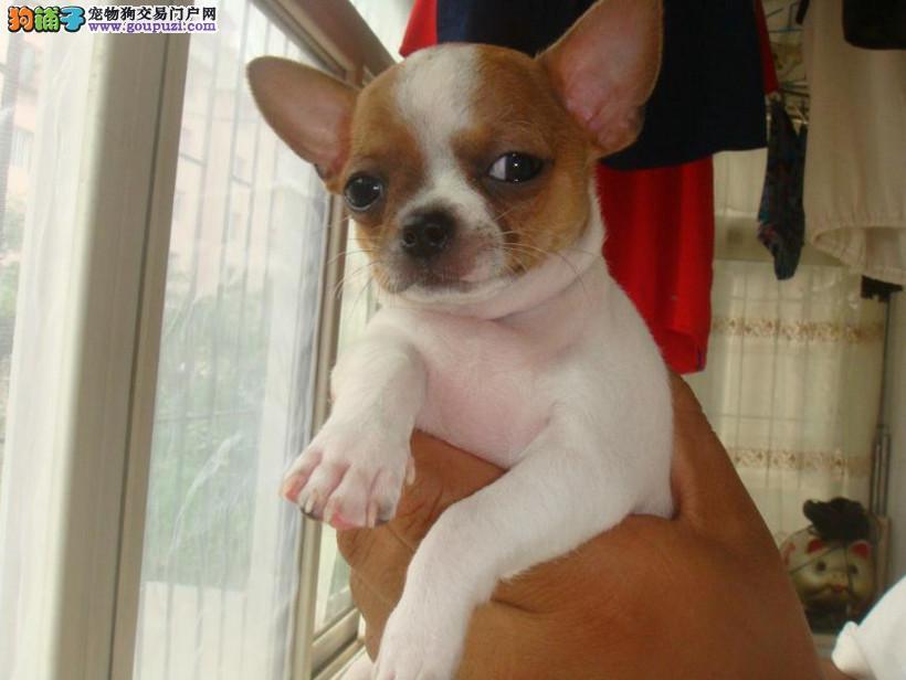 成都专业犬舍出售吉娃娃,狗狗包纯种包健康