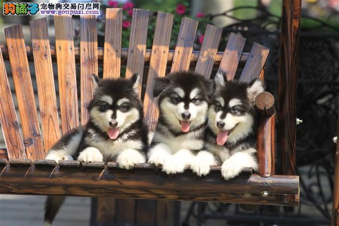 成都专业犬舍出售阿拉斯加,狗狗包纯种包健康