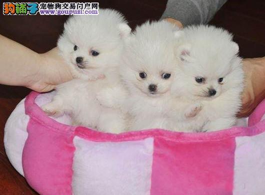 成都专业犬舍出售博美犬,狗狗包纯种包健康