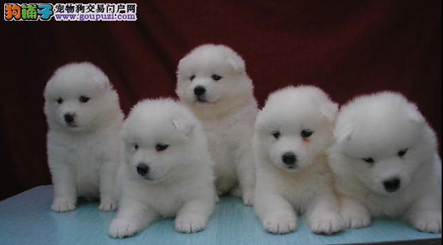 成都专业犬舍出售萨摩耶,狗狗包纯种包健康
