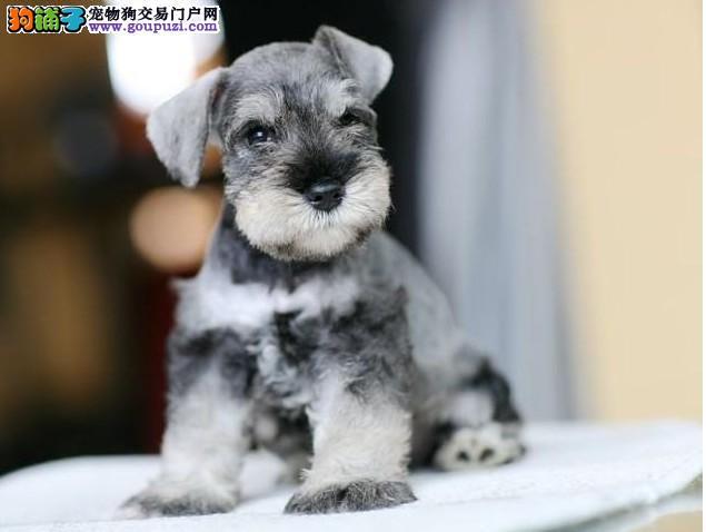 成都专业犬舍出售雪纳瑞,狗狗包纯种包健康