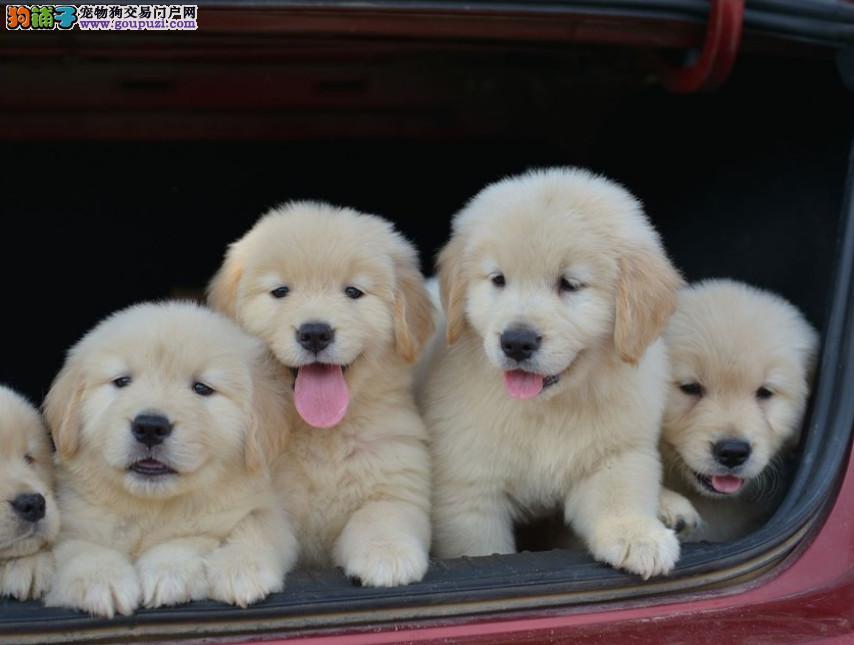 成都专业犬舍出售金毛犬,狗狗包纯种包健康