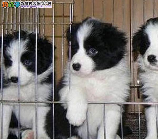 成都专业犬舍出售边境牧羊犬,狗狗包纯种包健康