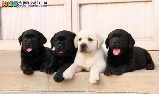 成都专业犬舍出售拉布拉多,狗狗包纯种包健康