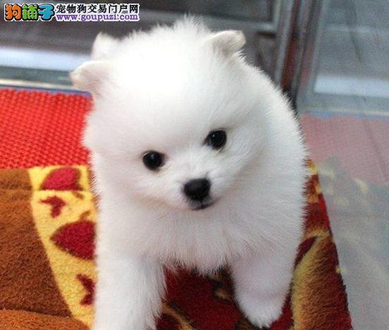 重庆专业犬舍出售博美犬,狗狗包纯种包健康