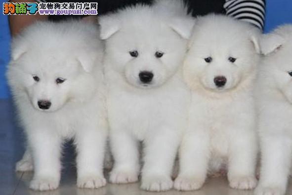 重庆专业犬舍出售萨摩耶,狗狗包纯种包健康