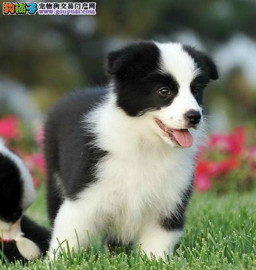 出售七白三通边牧幼犬 家养边牧幼犬出售包纯种健康