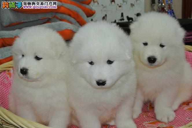 犬场直销萨摩耶健康纯种幼犬微笑天使萨摩耶奥版萨摩耶