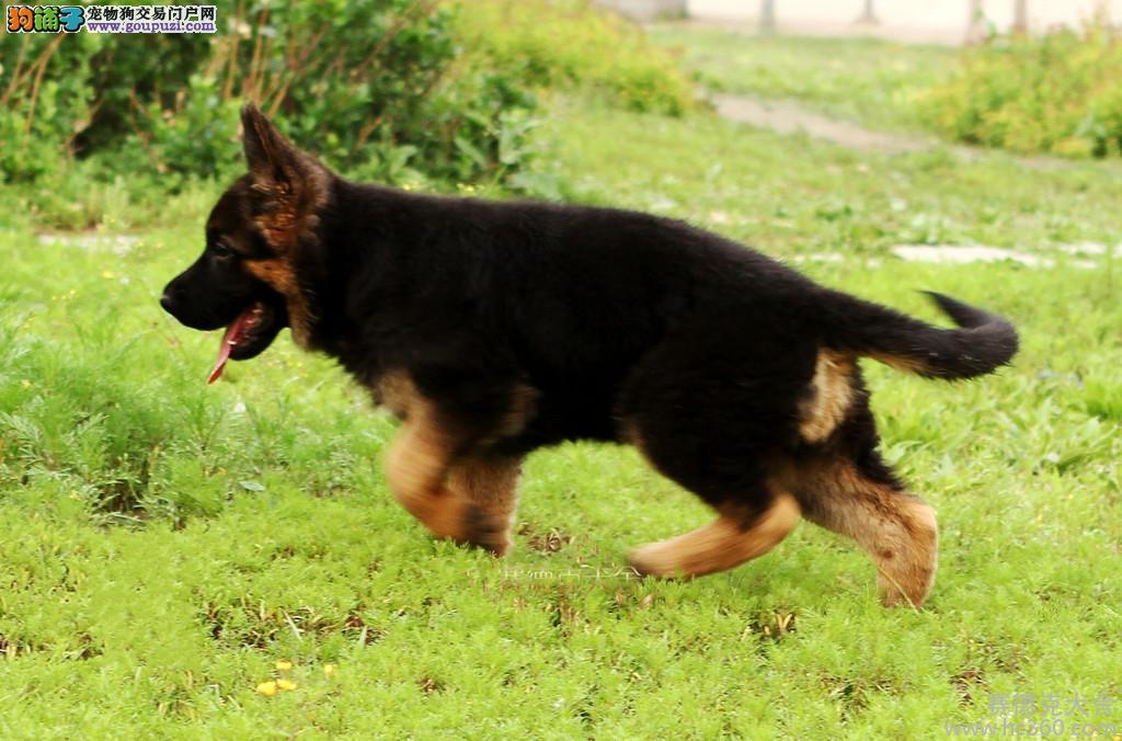 犬场直销弓背平背锤系德牧出售出售德牧幼犬包纯种健康