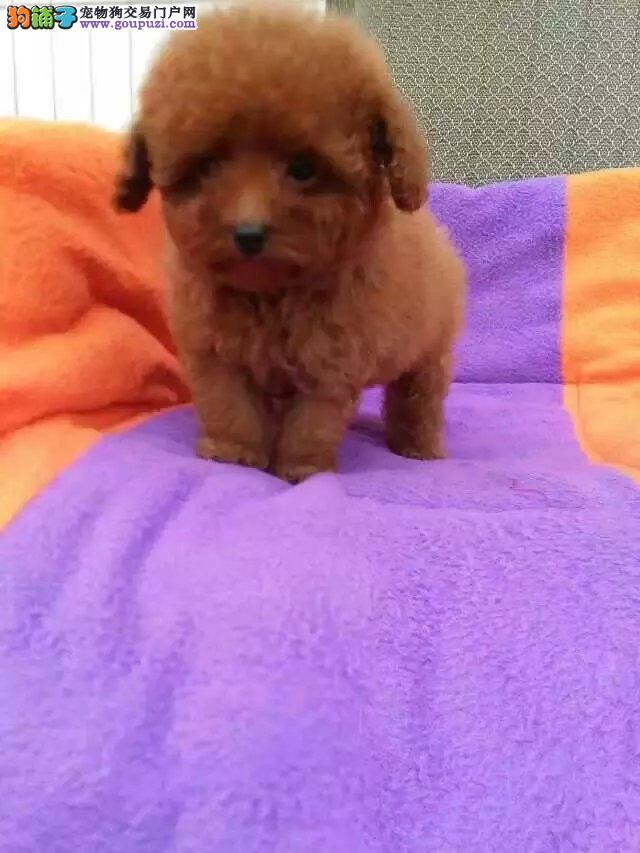 精品泰迪幼犬 纯种健康泰迪幼犬 家养泰迪幼犬