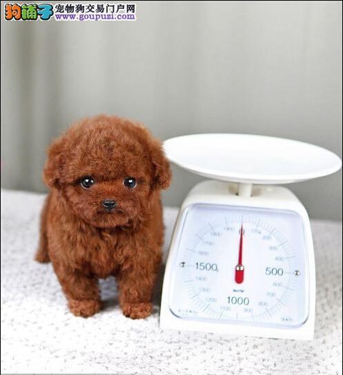 微小精品泰迪幼犬◕包纯种健康◕死亡包退换