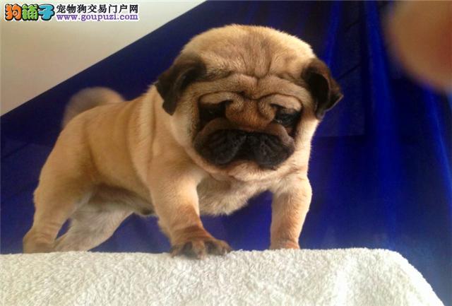 巴哥幼犬出售 终身包纯种健康签订协议