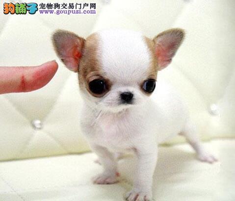 吉娃娃幼犬出售 终身包纯种健康签订协议