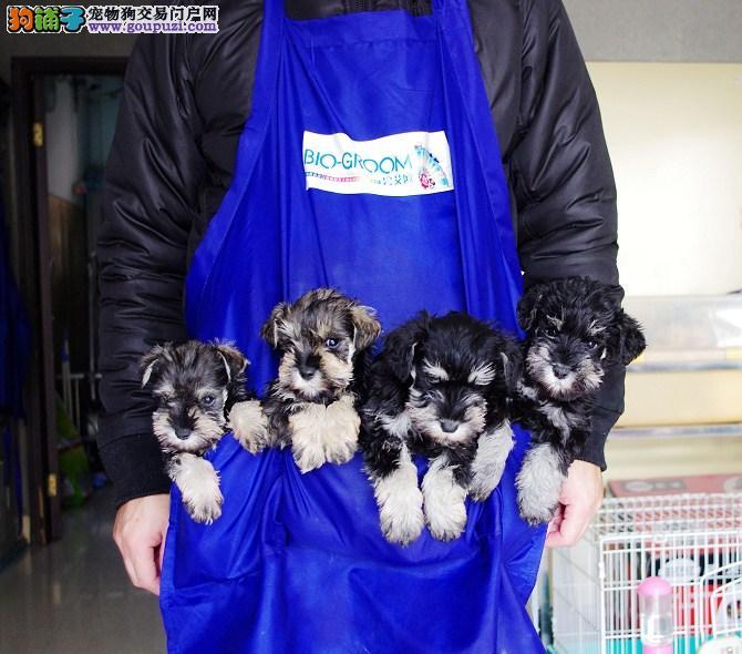 雪纳瑞幼犬出售 终身包纯种健康签订协议