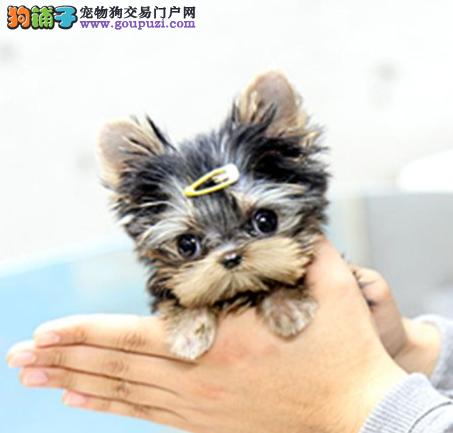 约克夏幼犬出售 终身包纯种健康签订协议