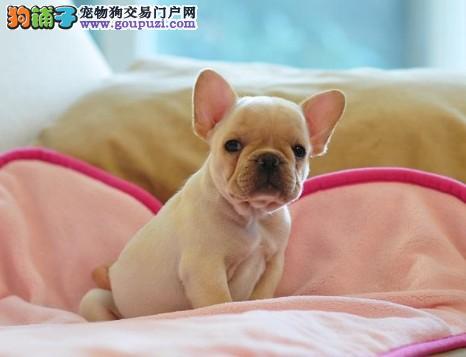 哈密自家繁殖法国斗牛犬出售公母都有微信咨询视频看狗