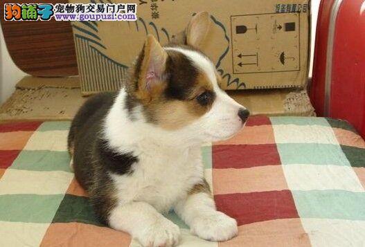 纯种柯基三色两色柯基幼犬可来场挑选纯血统纯正