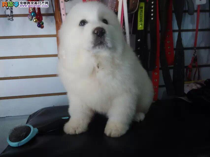 精品大白熊幼犬/实物拍摄/纯种健康质保三年可签协议