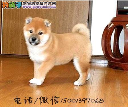 日本引进种犬 专业日本柴犬繁殖 冠军品质正统血统