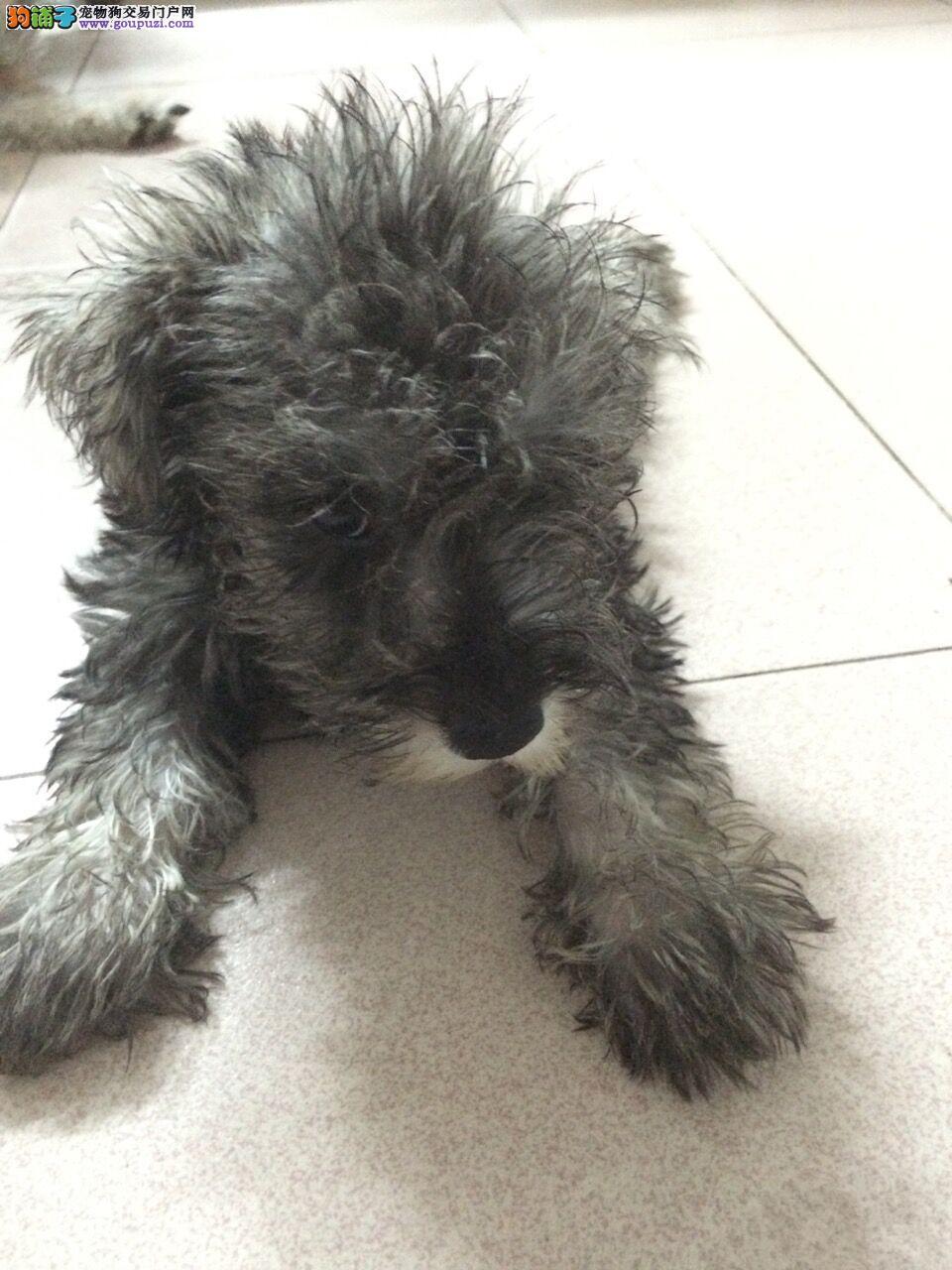 纯种雪纳瑞小狗3个月大,健康有保障