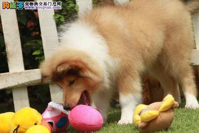 大型专业培育苏牧幼犬包健康微信咨询视频看狗