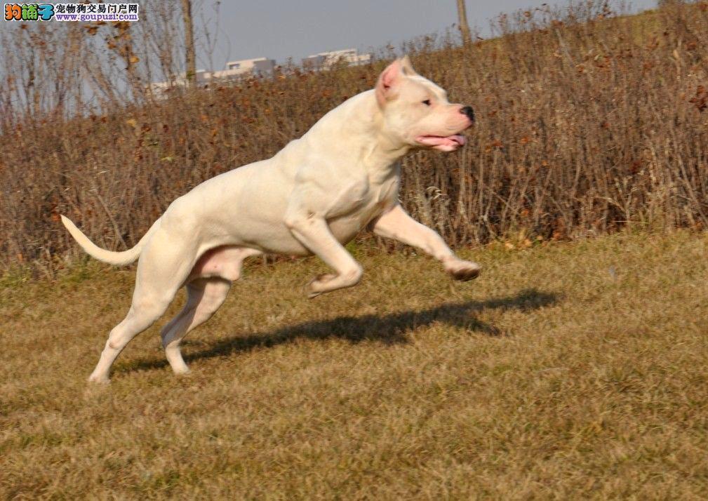 霸气外漏顶级纯种杜高幼犬签订协议品质 健康双保证
