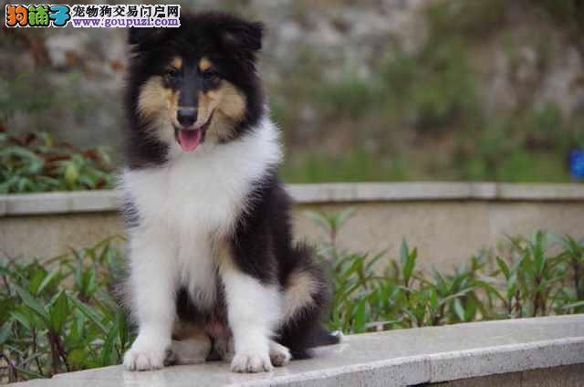 苏牧幼犬 免疫均已做完 签订售后合同 特价销售