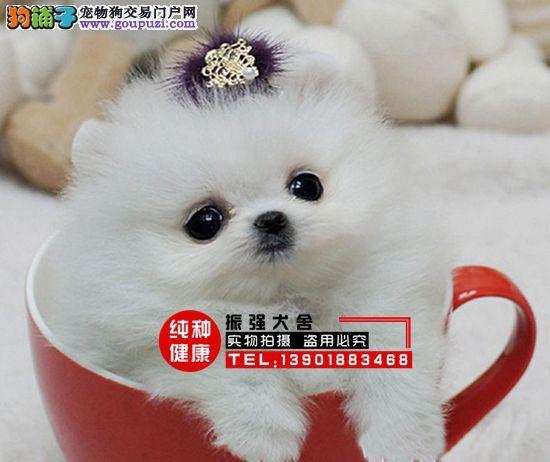 犬舍直销纯种哈多利球形白博美∕ 黄博美∕ 俊介版博美